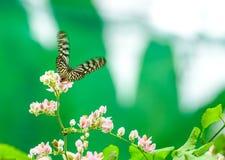 Голубая стекловидная бабочка тигра в саде Стоковая Фотография