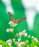 Голубая стекловидная бабочка тигра в саде Стоковые Изображения