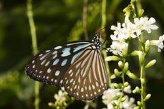 Голубая стекловидная бабочка similis Ideopsis тигра Стоковое Изображение