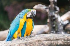 Голубая стойка попугаев ары на ветви Стоковые Изображения RF