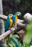 Голубая стойка попугаев ары на ветви Стоковые Фото