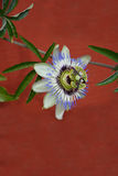 голубая страсть цветка Стоковое Изображение RF