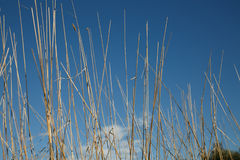 голубая сухая трава над небом Стоковое Изображение RF