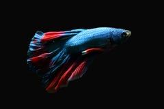Голубая сдерживая рыба с красивым красным кабелем на черной предпосылке Стоковые Фото