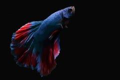 Голубая сдерживая рыба с красивым красным кабелем на черной предпосылке Стоковое Изображение