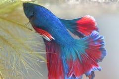 Голубая сдерживая рыба с красивым красным кабелем Стоковая Фотография