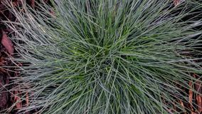 Голубая трава Стоковое Фото