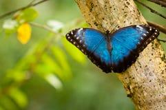 Голубая тропическая бабочка в джунглях Стоковая Фотография