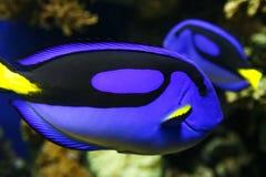 Голубая тянь в воде Стоковая Фотография RF