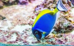 Голубая тянь в танке Стоковое фото RF