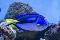 голубая тянь рыб Стоковые Фотографии RF