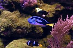 Голубая тянь, царственная тянь Paracanthurus Hepatus Стоковое Изображение RF