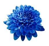 Голубая хризантема цветка Зацветите на предпосылке изолированной белизной с путем клиппирования closeup Отсутствие теней Стоковая Фотография RF