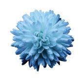 Голубая хризантема цветка Цветок сада Предпосылка изолированная белизной с путем клиппирования closeup Отсутствие теней Стоковое Фото