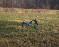 голубая цапля летания Стоковое Изображение RF