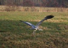 голубая цапля летания Стоковая Фотография