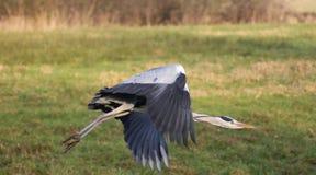 голубая цапля летания Стоковые Изображения