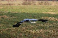 голубая цапля летания Стоковые Фото