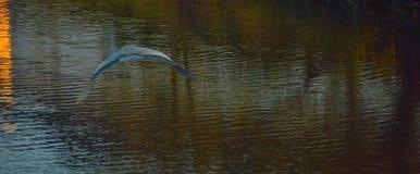Голубая цапля летая над рекой Стоковые Изображения RF