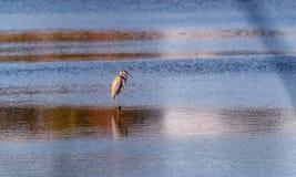 Голубая цапля стоя в пруде на заходе солнца Стоковое Изображение