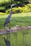 Голубая цапля стоя на крае вод Стоковое Изображение
