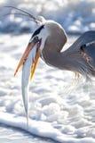 Голубая цапля с задвижкой дня Стоковая Фотография