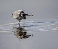 Голубая цапля улавливает рыбу Стоковое фото RF