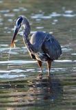 Голубая цапля улавливает рыб, залива зачатия, Нижней Калифорнии < Мексики Стоковое фото RF