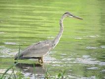 голубая цапля wading Стоковые Фото