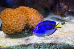 Голубая царственная тянь Стоковые Изображения RF