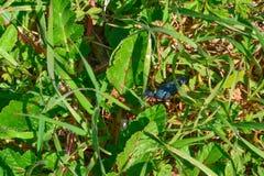 голубая черепашка Стоковое Изображение