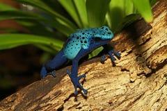 Голубая лягушка дротика отравы Стоковая Фотография