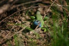 голубая ящерица Стоковое Изображение RF