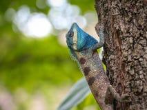 голубая ящерица стоковые фотографии rf