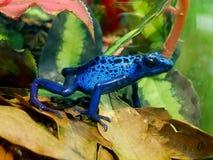 Голубая ядовитая лягушка дротика Стоковые Изображения RF