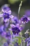 Голубая columbine предпосылка весны цветка красочная Стоковые Фото