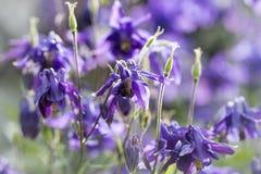 Голубая columbine предпосылка весны цветка красочная Стоковая Фотография