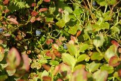 Голубика Буша Стоковые Фотографии RF