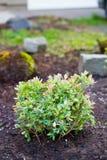 Голубика Буш в саде Стоковое Фото