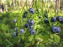 Голубика леса Буша одичалая с зрелыми голубыми ягодами на лете Стоковые Фото