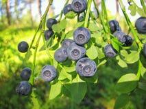 Голубика леса Буша одичалая с зрелыми голубыми ягодами Стоковое Изображение RF