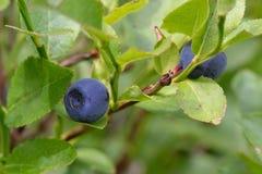 Голубика на ветви Стоковая Фотография