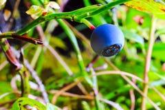 Голубика ягоды в лесе Стоковое Изображение RF