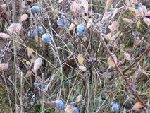 Голубика Стоковое фото RF