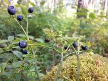 Голубики в лесе Стоковая Фотография