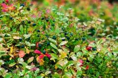 Голубики в падениях росы Стоковое Изображение