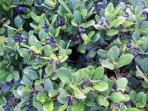 Голубики зрея на кусте Стоковые Фотографии RF