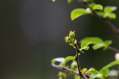 голубики зрея Стоковые Изображения RF