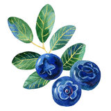 Голубики с листьями, иллюстрацией акварели Стоковая Фотография