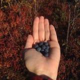 Голубики Стоковая Фотография RF